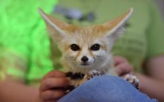 Outreach programs brings fennec fox into Animal Behavior classroom